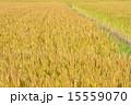 麦 麦畑 穀物の写真 15559070
