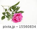 ボタン科 切り花 芍薬の写真 15560834