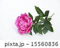 切り花 芍薬 ボタン科の写真 15560836