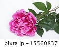 切り花 芍薬 ボタン科の写真 15560837