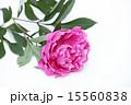 切り花 芍薬 ボタン科の写真 15560838
