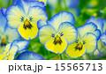 16:9 花 パンジーの写真 15565713