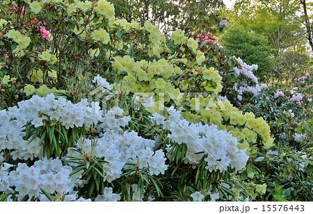 白と黄色のシャクナゲの花 15576443