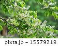 バラ科 犬桜 花の写真 15579219