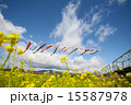 鯉のぼりと菜の花 15587978