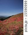大和葛城山 躑躅満開 15590999
