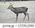 奈良公園 奈良県 鹿の写真 15591090