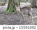 奈良公園 奈良県 鹿の写真 15591092