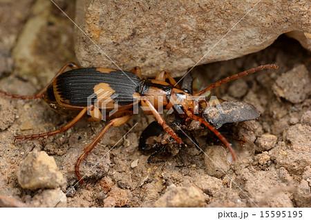 甲虫を捕食するミイデラゴミムシ 15595195