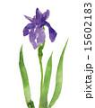 カキツバタ 花 水彩画のイラスト 15602183