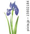 カキツバタ 花 水彩画のイラスト 15602184