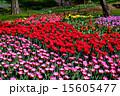 チューリップ畑 満開 昭和記念公園の写真 15605477
