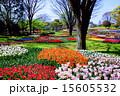 チューリップ畑 昭和記念公園 国営昭和記念公園の写真 15605532