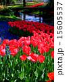 チューリップ畑 国営昭和記念公園 昭和記念公園の写真 15605537
