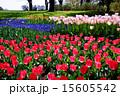 チューリップ畑 国営昭和記念公園 昭和記念公園の写真 15605542