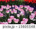 チューリップ畑 国営昭和記念公園 昭和記念公園の写真 15605548