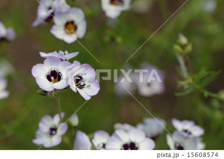 サンシキギリアの花 15608574