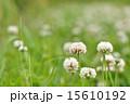 植物 シロツメクサ 花の写真 15610192