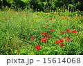 咲く ケシ科 シャーレーポピーの写真 15614068