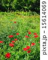 咲く ケシ科 シャーレーポピーの写真 15614069
