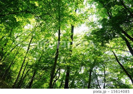 5月葉 新緑の樹木15萌黄色の若葉 15614085