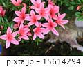 サツキ 盆栽 名木の写真 15614294