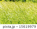 テクスチャー 草 グリーンの写真 15619979