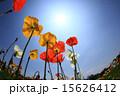 花 植物 ポピーの写真 15626412
