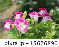 ピンクのトレニア 15626890