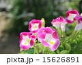 ピンクのトレニア 15626891
