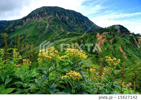 苗場山と高山植物 15627142