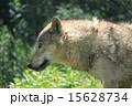 オオカミ シンリンオオカミ 東山動物園の写真 15628734