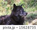 オオカミ シンリンオオカミ 東山動物園の写真 15628735