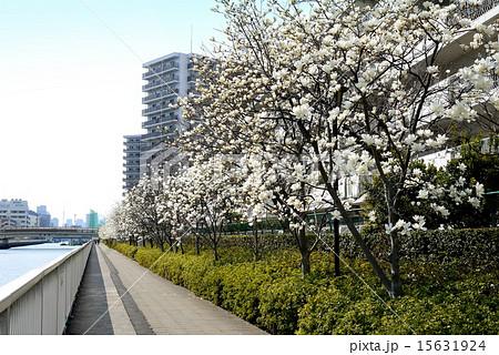 潮風の散歩道のハクモクレン(東京都 江東区 汐浜運河) 15631924