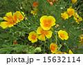 花(ハナビシソウ) 15632114