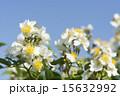 五月晴れ 野バラ 花の写真 15632992