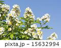 五月晴れ 野バラ 花の写真 15632994