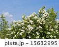 五月晴れ 野バラ 満開の写真 15632995