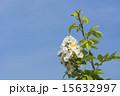 五月晴れ 野バラ 花の写真 15632997
