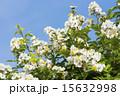 五月晴れ 野バラ 花の写真 15632998