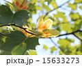 ユリノキ チューリップポプラ 開花の写真 15633273