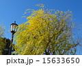 皇居の柳 15633650