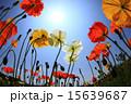 日差し 花 ポピーの写真 15639687