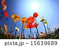 日差し 花 ポピーの写真 15639689