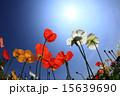 日差し 花 ポピーの写真 15639690