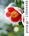 一輪の椿の花のアップ 15644448