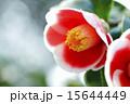 一輪の椿の花のアップ 15644449