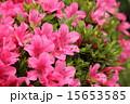 サツキ 花 満開の写真 15653585