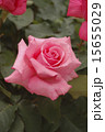 ピンクのバラ・一輪 15655029