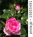 咲く バラ科 植物の写真 15655491